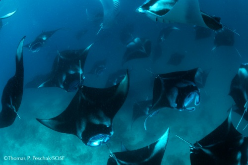Manta Ray feeding aggregation at Hanifaru